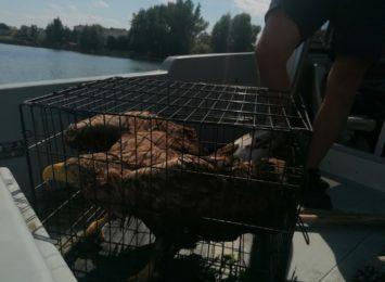 Bielik tonął na Jeziorze Chełmżyńskim