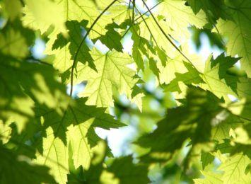 Będzie 200 nowych drzew w Toruniu